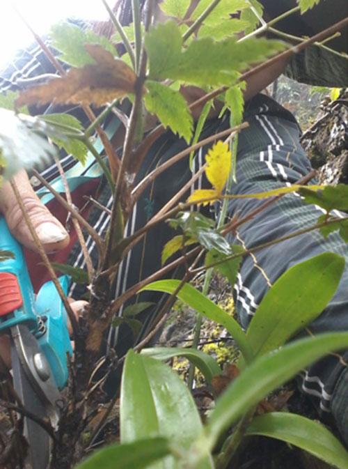 Cây thìa là hóa gỗ được lấy mẫu tại Quản Bạ, tỉnh Hà Giang.