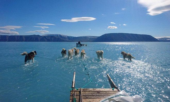 àn cho kéo xe ở Greenland thay vì đi trên tuyết thì chân lại ngập trong nước.