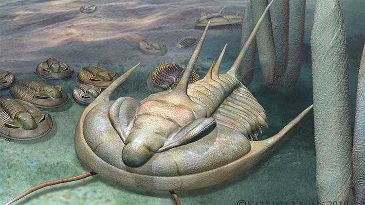 Hình ảnh phục dựng loài Redlichia rex.