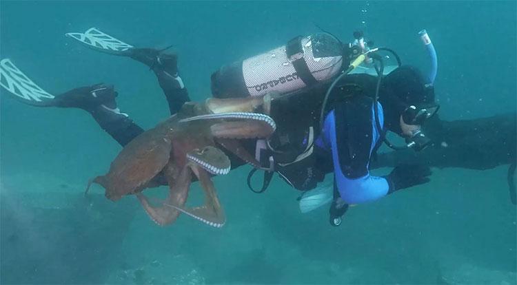 Con bạch tuộc dường như định dùng chiếc mỏ nhọn ẩn trong miệng để cắn thợ lặn.