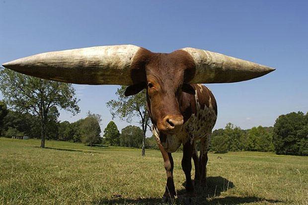 Poncho trở thành chú bò có cặp sừng dài nhất thế giới.