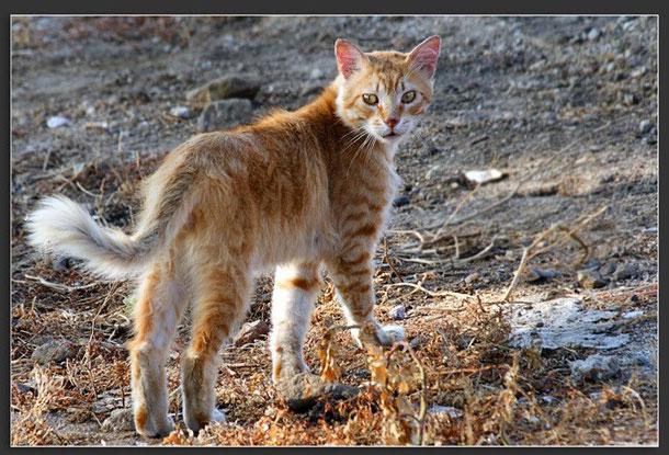 Giống mèo bí ẩn trong truyền thuyết đảo Corse.