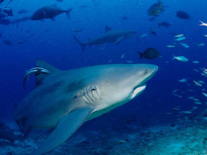 Nước biển ấm lên tạo điều kiện thuận lợi cho cá mập di chuyển lên phương Bắc.