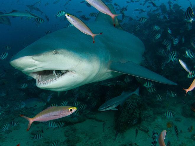 Những năm gần đây, số lượng các trường hợp bị cá mập tấn công đang tăng nhanh.