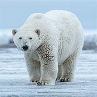 Tạo ra chất liệu giữ ấm tốt nhất thế giới nhờ... lông gấu bắc cực
