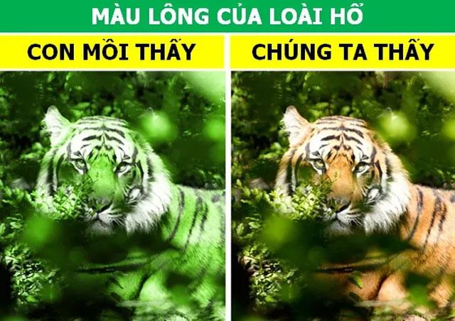 Màu lông của hổ