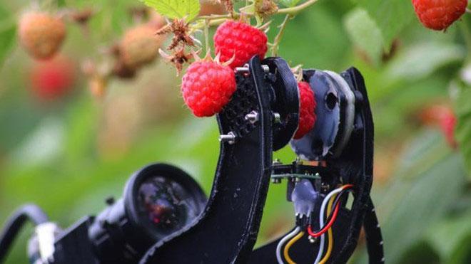 Robot thu hoạch dâu tây của Martin Stoelen tại Anh.
