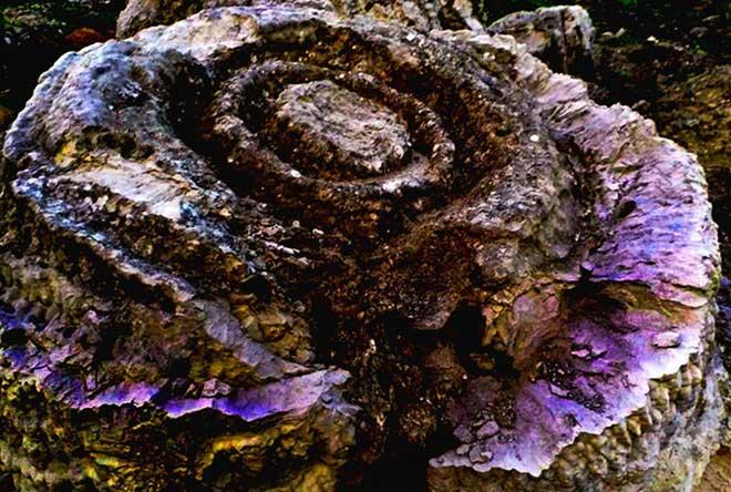 Cận cảnh khối san hô hóa thạch hình hoa hồng niên đại 6.000 năm.