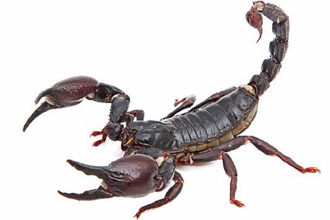 Nọc độc của một loại bọ cạp ở Mexico có thể cung cấp phương thuốc để điều trị la, kể cả lao kháng thuốc