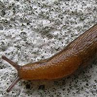 Hi hữu: 12.000 người Nhật đi làm muộn chỉ vì 1 con ốc sên