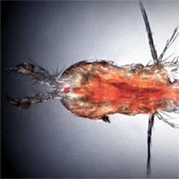 Phát hiện cơ chế thích ứng của động vật giáp xác khi thiếu oxy