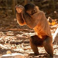 Không riêng con người, nhiều loài khỉ đã bước vào thời kỳ đồ đá từ 3000 năm trước