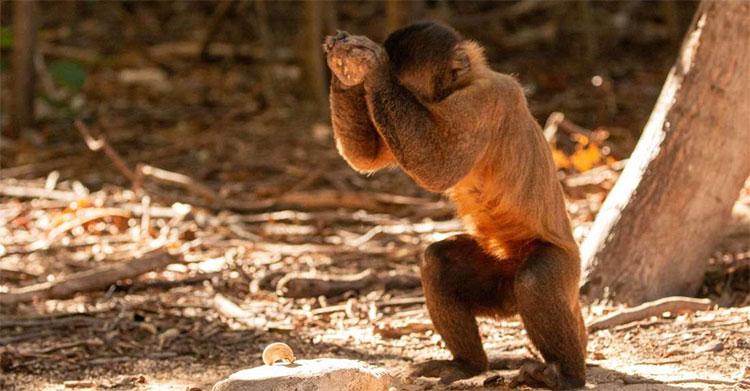 Khỉ sử dụng đá làm công cụ tách hạt.