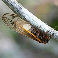 Loại nấm buộc ve sầu giao phối khi mất mất bộ phận sinh dục