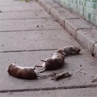 """Hàng trăm con chuột nhảy cầu """"tự sát"""" bí ẩn ở Hà Lan"""