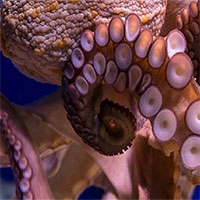 Bạch tuộc - một trong những loài thông minh không dùng bộ não