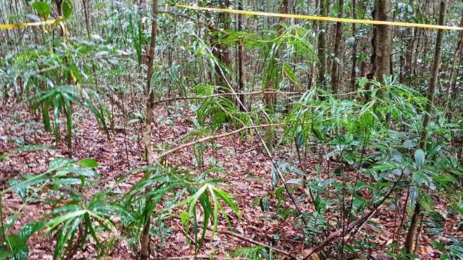 Một cây thông hai lá dẹt tái sinh tự nhiên còn nhỏ.