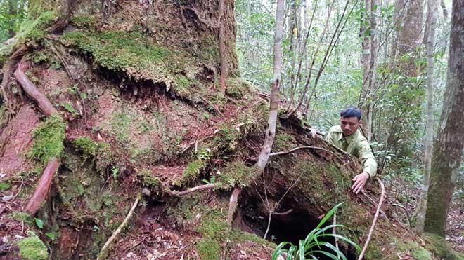 """Phần rễ cây nổi lên trên mặt đất cũng rất """"khủng""""."""