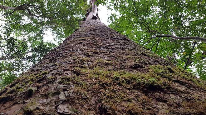 Cây thông hai lá dẹt trên dưới 1.000 năm tuổi ở Vườn quốc gia Bidoup Núi Bà.