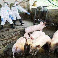 Việt Nam sản xuất thành công vắc xin phòng dịch tả lợn châu Phi
