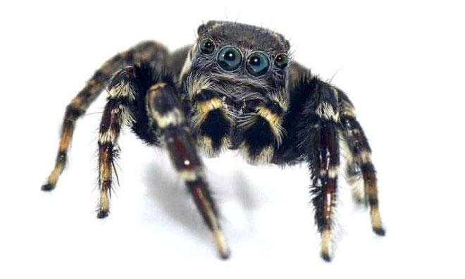 Loài nhện mới được phát hiện có tên là Jotus karllagerfeldi