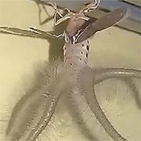 Sinh vật kỳ lạ như ngoài hành tinh bò trên trần nhà, dân phát khiếp