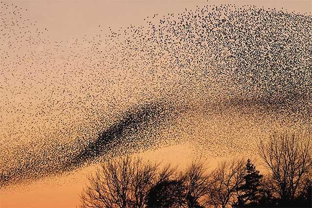 Hình ảnh đàn chim sáo đá lớn mùa di cư.