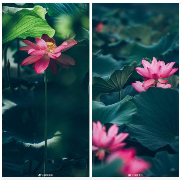 Hoa sen ngủ yên trăm năm trong vườn vua nhà Thanh bất ngờ nở rộ - ảnh 2