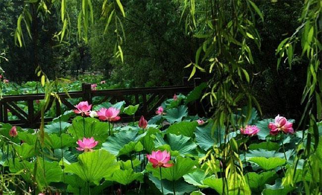 Hoa sen ngủ yên trăm năm trong vườn vua nhà Thanh bất ngờ nở rộ - ảnh 3