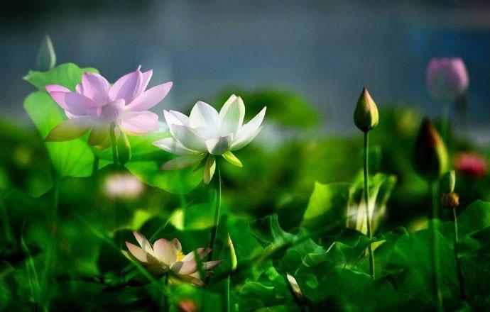 Hoa sen ngủ yên trăm năm trong vườn vua nhà Thanh bất ngờ nở rộ - ảnh 4