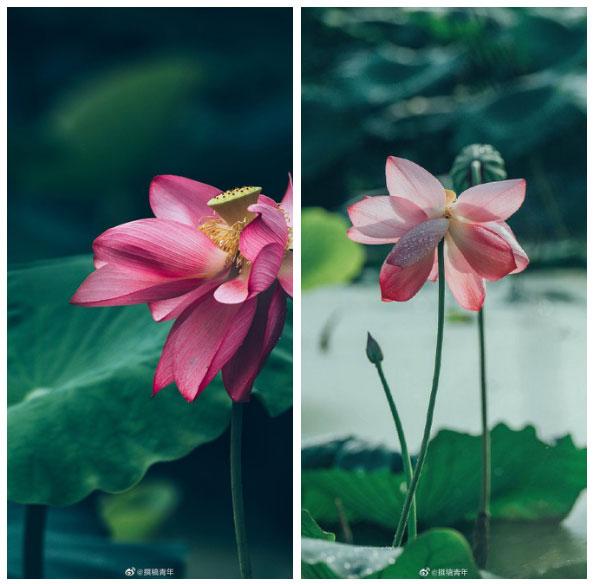 Hoa sen ngủ yên trăm năm trong vườn vua nhà Thanh bất ngờ nở rộ - ảnh 1