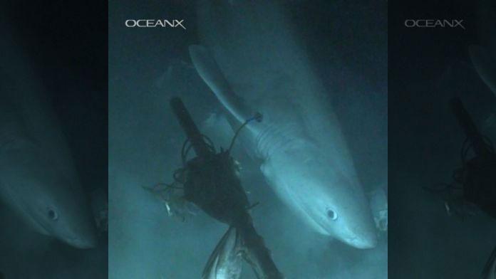 Hình ảnh con cá mập bò bí ẩn mới được ghi lại.