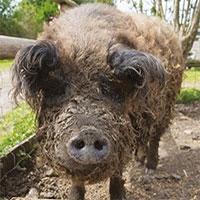 """""""Lợn đội lốt cừu"""" ba lần thoát khỏi lò mổ"""