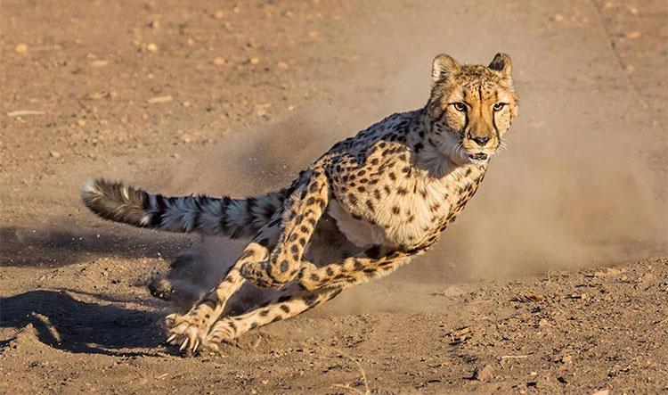 Báo săn thậm chí từng được con người nuôi từ thời Ai Cập cổ.