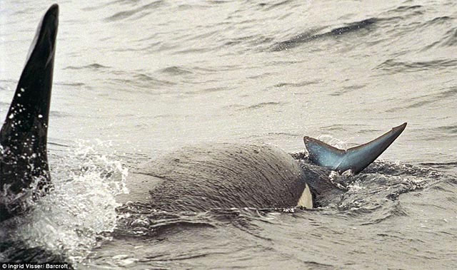Một con cá voi sát thủ húc đầu vào cá mập khiến con vật choáng váng và nhanh chóng lật ngửa người con mồi.