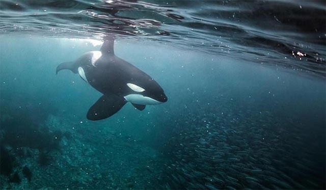 Cá voi sát thủ hiếm khi có đối thủ trong tự nhiên, ngoại trừ con người