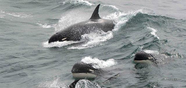 Loài cá voi sát thủ thường sinh sống theo bầy đàn, cùng nhau đi săn và chia sẻ thức ăn