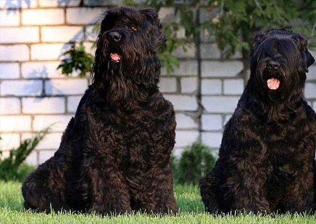Chó sục Nga đen được coi là một trong những giống chó tốt nhất để huấn luyện.
