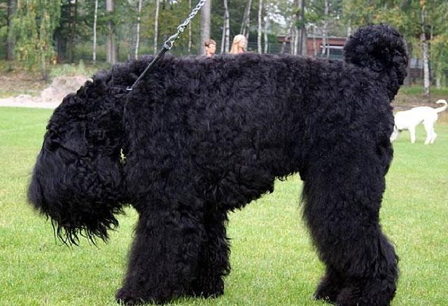 Chó sục Nga đen