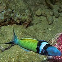 Loài cá chỉ mất 20 ngày để chuyển giới từ cái thành đực