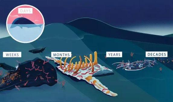 Quá trình phân hủy của một xác cá voi.