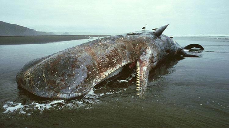 Cá voi dạt bờ thường chết vì những yếu tố bên ngoài: chấn thương, chết đói, mất phương hướng.