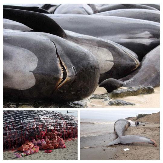 """Sự tồn tại của loài người - những kẻ """"săn mồi"""" quá mạnh - đã khiến cá voi chết quá sớm"""