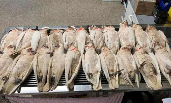 Vẹt mào trắng chết hàng loạt
