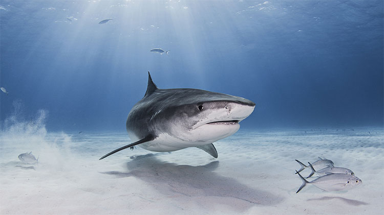 Số lượng cá mập suy giảm nghiêm trọng tại Địa Trung Hải trong những năm qua.