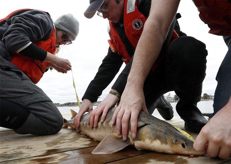 """Cá tầm thường được coi là """"cá tiền sử"""" vì những đặc điểm tiến hóa của chúng chưa hề thay đổi"""