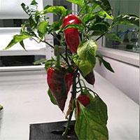 Espanõla sẽ là cây ăn quả đầu tiên được trồng trên ISS?