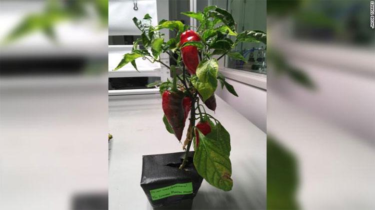 Cây ớt Espanõla được chọn để đưa lên trồng ngoài vũ trụ.