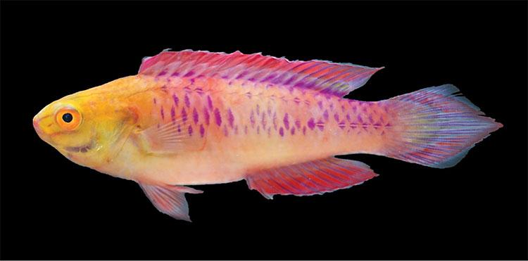Loài cá mới này được đặt cái tên rất độc đáo: Cirrhilabrus wakanda.