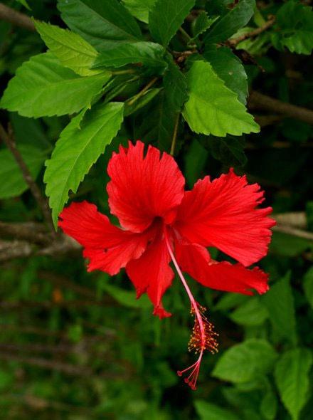 Nước ép từ hoa dâm bụt dùng ngăn ngừa rụng tóc.